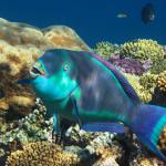 ryba popugaj 150x150 1 - Туры в Египет: новые вылеты и доступные цены